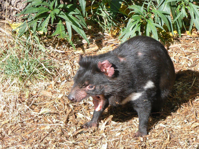 tasmanischer-teufel-2