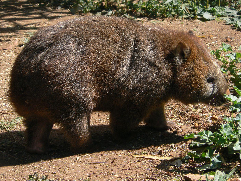 zufriedener-wombat