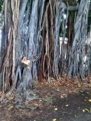 A-Banyan-Tree-2