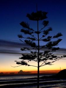 Norfolk Pine, Manly, Sydney